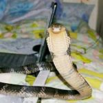 CAN YOU KEEP A COBRA??  watch A small indian girl that has cobras!